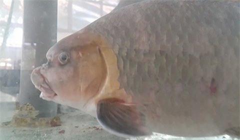 cá Anh Vũ