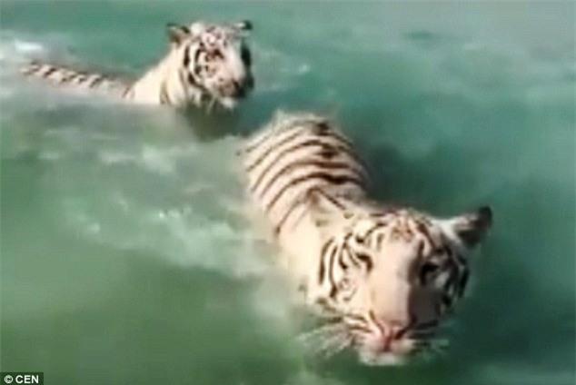 Chỉ có ở Dubai: Bầy hổ vằn kéo nhau xuống biển nô đùa - 1