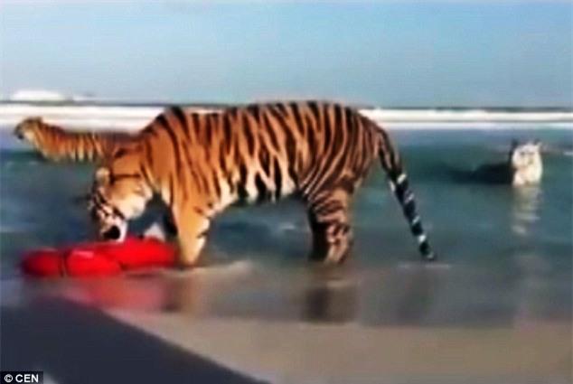 Chỉ có ở Dubai: Bầy hổ vằn kéo nhau xuống biển nô đùa - 2