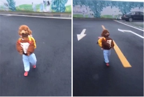 Cậu học trò chó nhỏ đeo cặp đi như người suốt 2 km không nghỉ khiến cả con phố náo loạn - Ảnh 2.