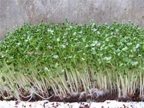 Cách trồng và bảo quản rau mầm