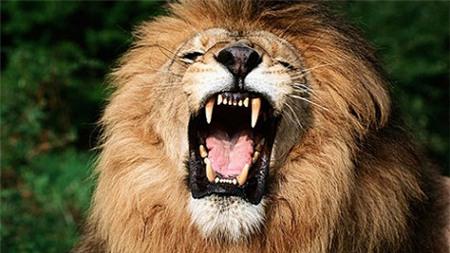 """""""Tuyệt vọng"""" giải cứu bé gái bị sư tử cắn"""