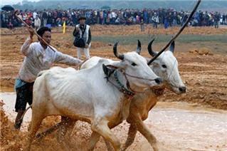 Mục sở thị Lễ hội Đua bò Bảy núi tại Hà Nội