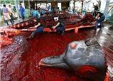Ghê người tàn sát cá voi dưới vỏ bọc nghiên cứu khoa học