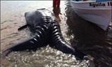 Cặp cá voi song sinh dính liền hiếm gặp