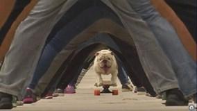 """Kỷ lục Guinness """"hot"""": Chú chó trượt ván qua háng 30 người"""