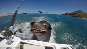 Sư tử biển bám đuôi du thuyền để xin thức ăn