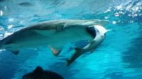 Cá mập ăn thịt đồng loại vì tranh giành lãnh địa