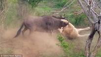 Linh dương đầu bò đơn độc húc bay sư tử