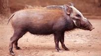 Báo đốm chạy 'hết hơi' không bắt nổi lợn rừng con