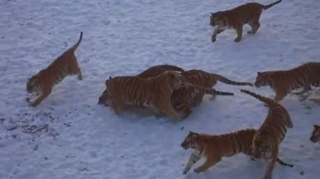 Bầy hổ Siberia xâu xé gà lôi trong công viên hoang dã