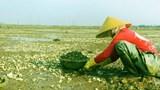 Sau cá, người dân Hà Tĩnh sững sờ vì nghêu chết trắng đồng