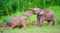 Đi tìm loài voi nhỏ nhất thế giới theo truyền thuyết