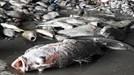 Nhiều thông tin sai lệch về vụ cá chết hàng loạt ở miền Trung
