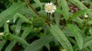 Cỏ mực - cỏ nhọ nồi: Vị thuốc chữa bệnh hữu hiệu