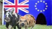 """Dân Anh tổ chức """"đua"""" lợn dự đoán việc đi hay ở lại EU"""