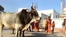 Ấn Độ muốn thành lập Bộ... Bò