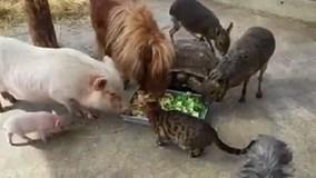 Chuyện lạ: chó, mèo, lợn, ngựa, rùa ăn chung một máng