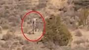 Sinh vật bí ẩn giống quỷ hút máu dê chupacabra lừng lững đi trên sa mạc