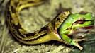 Nuốt nhầm ếch độc, rắn chết ngay tại chỗ