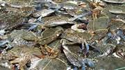 Phát hiện nhiều mẫu hải sản ở Hà Tĩnh nhiễm phenol, xyanua