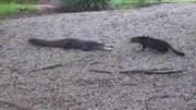 Mèo tấn công phủ đầu cá sấu