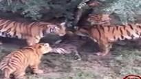 Khoảnh khắc hổ cái bị 7 hổ khác tấn công và giết chết ngay trong vườn thú