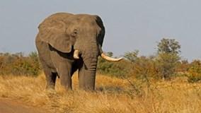 Du khách bị voi quật chết vì đến gần chụp ảnh