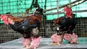 Cặp gà Đông Tảo giá 100 triệu đồng