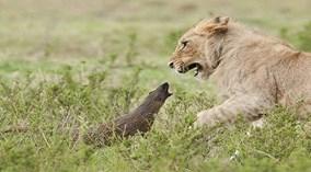 Ấn tượng với cảnh cầy mangut dũng cảm đối mặt với bầy... sư tử