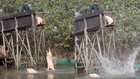 Trung Quốc: Du khách đổ xô đi xem lợn nhảy cầu, tập bơi