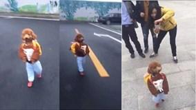 Chú chó đeo cặp đi học như người suốt 2km không nghỉ gây sốt