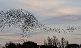 Choáng ngợp cảnh đàn chim sáo đá 14.000 con bay thành hình khủng long ngoạn mục