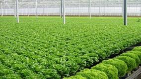 Mô hình trồng rau sạch theo công nghệ Nhật Bản có gì khác biệt?