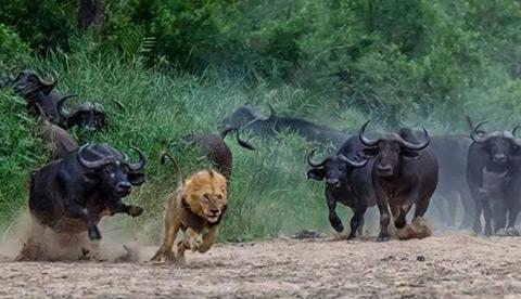 Đàn trâu rừng tàn sát cả sư tử đực