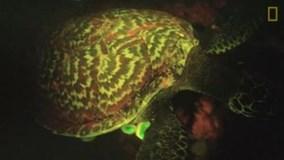 Phát hiện kỳ lạ nhất thế giới: Rùa biển tự phát sáng