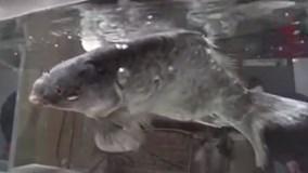 Cá chép đóng băng sống lại khi cho vào nước
