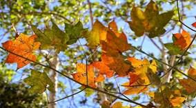 Giới trẻ miền Bắc nô nức đi ngắm rừng phong lá đỏ
