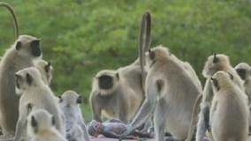 Đàn khỉ đau buồn bên xác con khỉ robot
