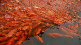 Đổi đời nhờ nuôi cá chép đỏ