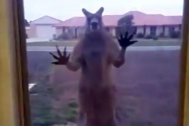 """Úc: Chuột túi """"giận dữ"""" đập cửa kính nhà dân đòi vào trong - 1"""
