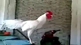 Cười vỡ bụng với tiếng gáy kỳ dị của chú gà trống