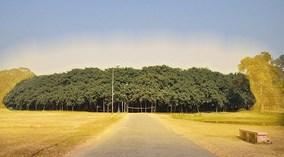 Choáng ngợp trước cây đa 250 tuổi khổng lồ nhất thế giới