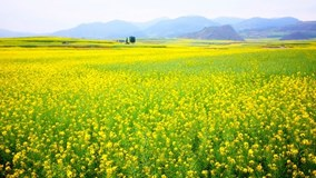 Ngắm mùa hoa cải dầu nhuộm vàng sông Nạp Uy