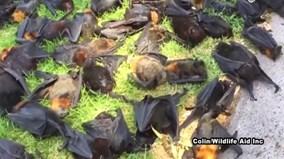 Hàng nghìn 'cáo bay' chết tập thể tại Australia