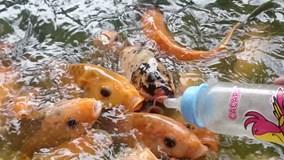 Kỳ thú hàng ngàn con cá chép tranh nhau... bú bình sữa trẻ em