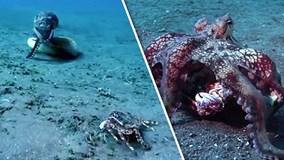 """Tốc độ vồ mồi kinh hoàng của bạch tuộc """"sát thủ"""""""