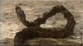 Đàn kiến lửa hung hãn giết chết trăn khủng trong chớp mắt