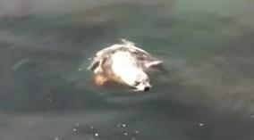 Hải cẩu phơi nắng bị bạch tuộc khổng lồ kéo vào tử chiến