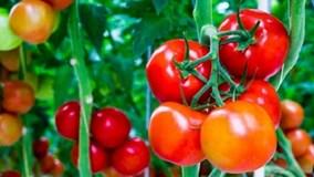 Mẹo bảo quản hành tây, cà chua tươi ngon